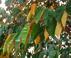 AFRICAN STAR APPLE LEAVES cure cancer